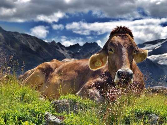 Вчені навчили корів користуватися туалетом: для чого це потрібно