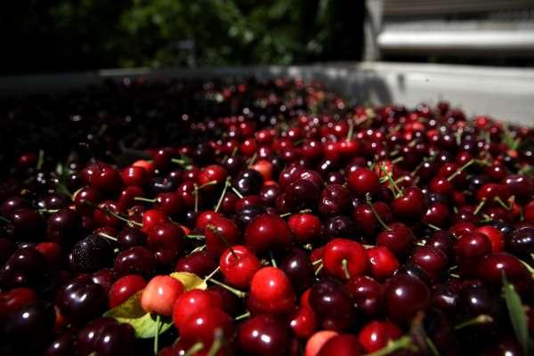 В Украине фермеры уничтожают урожай черешни