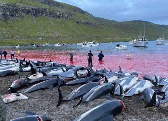 Вода стала червоною від крові: на Фарерських островах мисливці вбили 1500 дельфінів