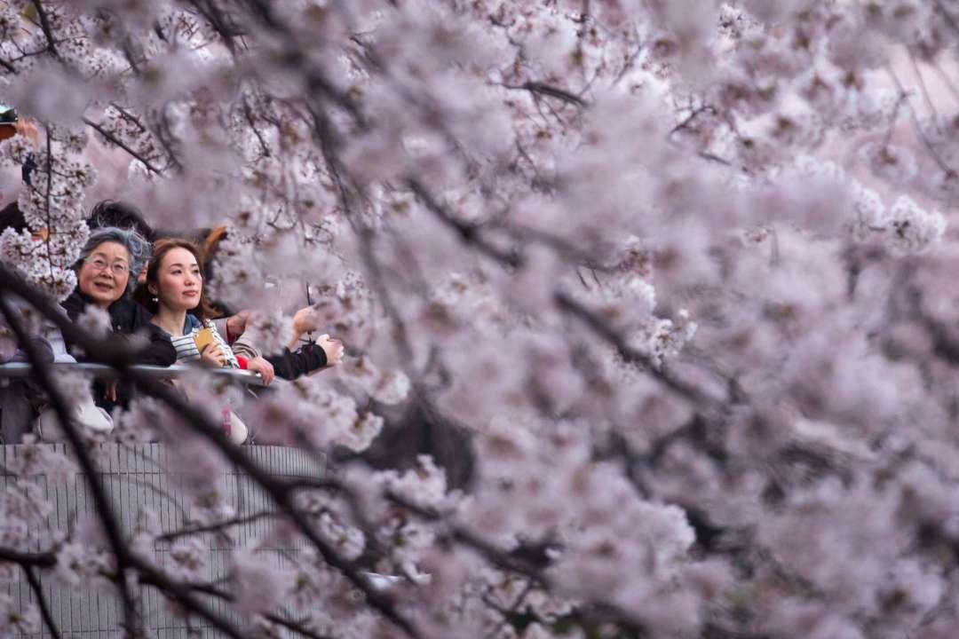 В Японии сакуры побили рекорд цветения: невероятные фото