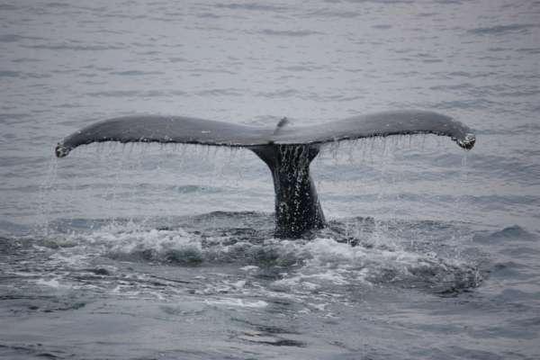 Спасали 4 часа: маленький кит застрял на реке Темза. Видео