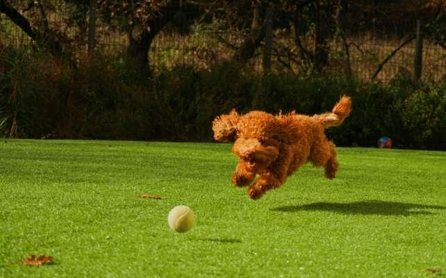 під час гри в крикет пес вкрав м'яч