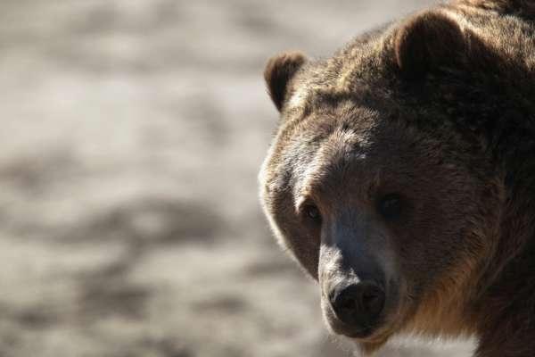Клишоногий водій: у США ведмідь заліз в автомобіль шерифа
