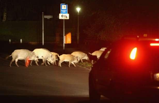 В Италии нашествие диких кабанов: животные спокойно передвигаются по улицам столицы