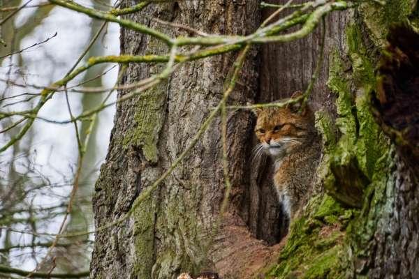 В Англії відновлять популяцію лісових кішок