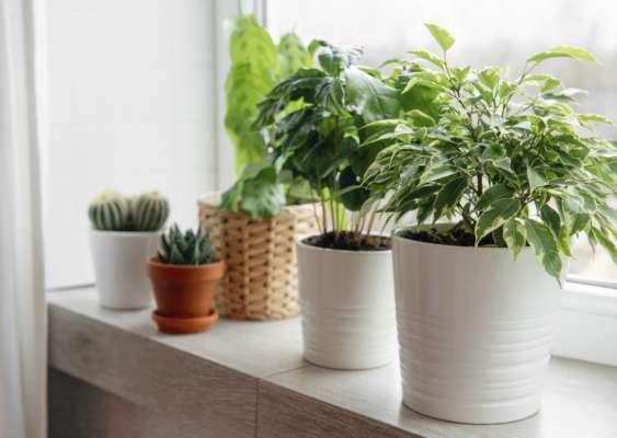 Кімнатні рослини, які виділяють найбільше кисню