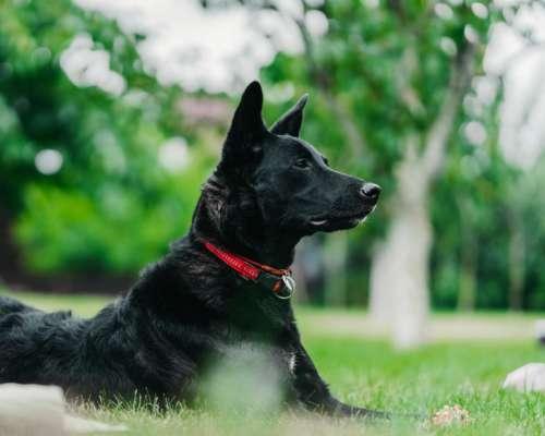 У Китаї на аукціоні продають пів сотні собак, які не змогли стати поліцейськими