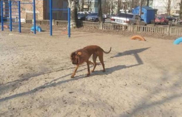 Собака-лев: у Дніпрі з'явився незвичайний пес. фото