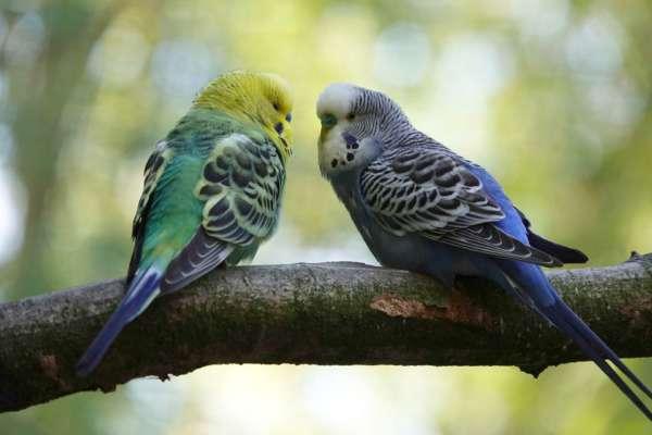 чоловік пограбував зоомагазин, щоб подарувати коханій папуг