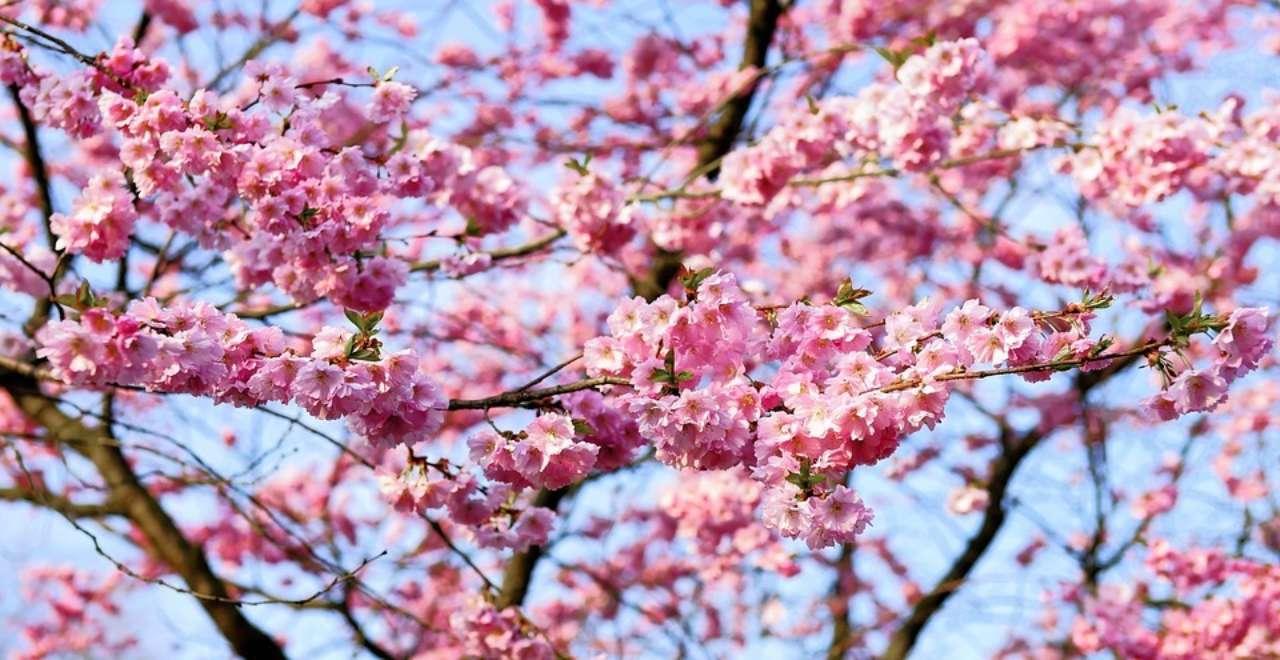 Місця в Україні, де неможливо красиво цвітуть сакури