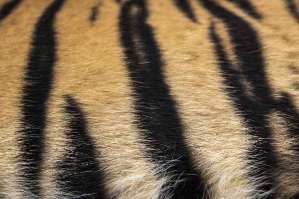 Хутро тигра