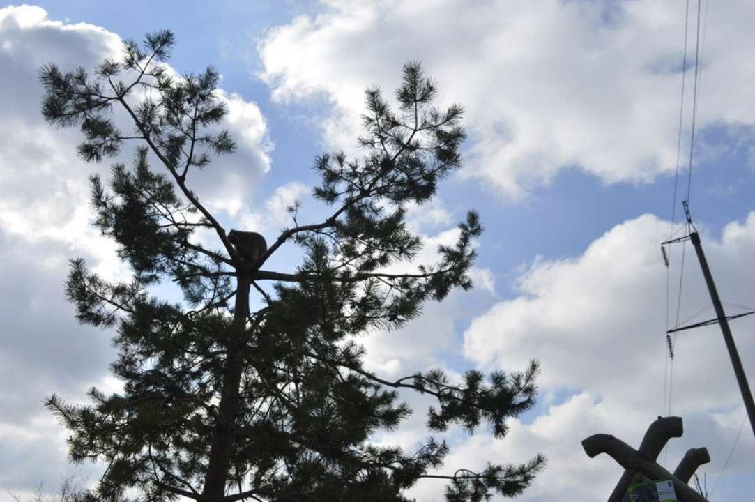Поближе к теплу: в Виннице забавные еноты взобрались на верхушку сосны и не спешат слезать. Фото