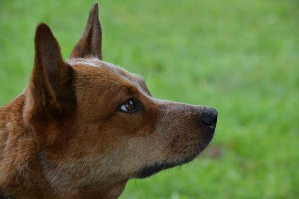 На аукціоні в Австралії собаку продали за рекордну суму