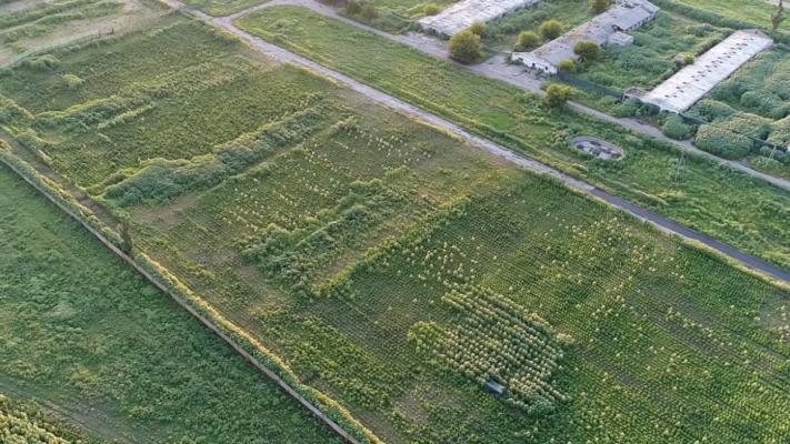 В Херсонской области разоблачили незаконные посевы конопли стоимостью 300 миллионов