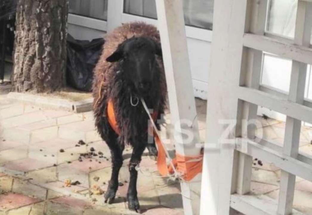 Кто-то остался без шашлыка: по Запорожью разгуливал беглый барашек. Видео