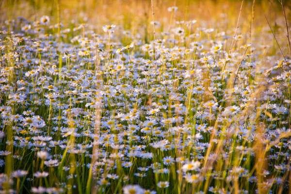 на Прикарпатті зацвіло ромашкове поле