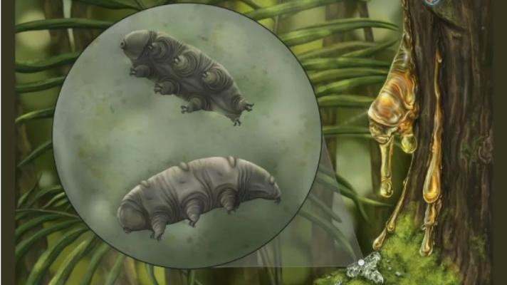 В куске янтаря случайно нашли тихоходку, которой 16 миллионов лет