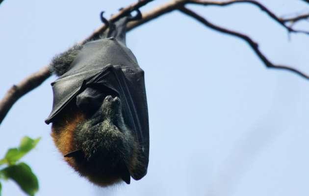 Вчені знайшли останки стародавньогогігантського кажана