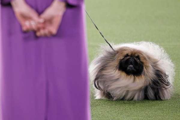 Переможцем собачої виставки став пекінес на прізвисько Васабі
