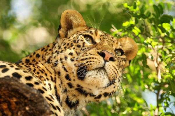 В Германии леопард изувечил модель во время фотосессии
