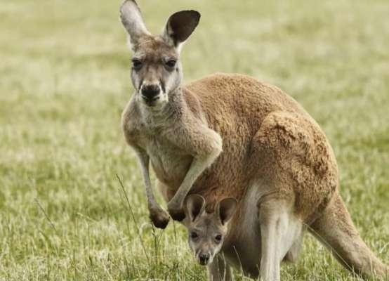 В Австралии подростков будут судить за убийство 14 кенгуру