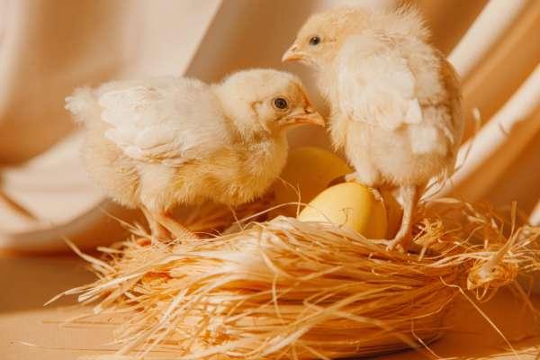 В Индонезии власть мотивируют граждан вакцинироваться бесплатными цыплятами