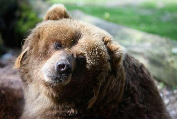 Відчайдушна дівчина прогнала ведмедя, рятуючи своїх собак