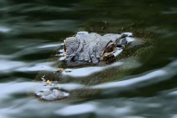 Зняв з гачка: крокодил вкрав акулу у рибалок. Відео