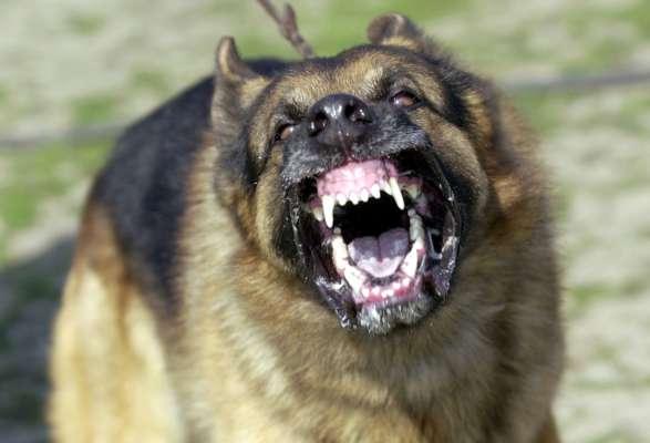 бійцівський собака на смерть загризла чіхуахуа