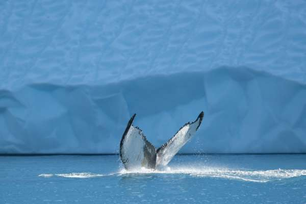 українським полярникам пощастило зустрітися з горбатими китами