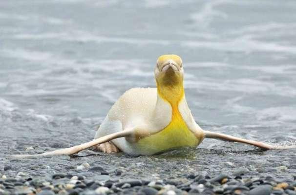 Желтый пингвин