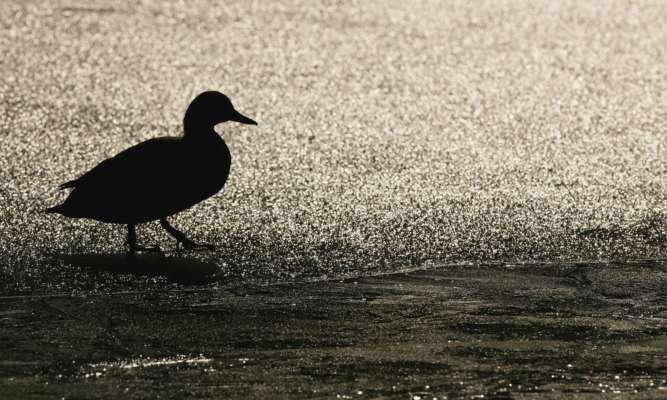 Под Киевом заметили птицу с четырьмя лапами
