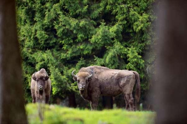 Вулицями Тернополя розгулювали буйволи
