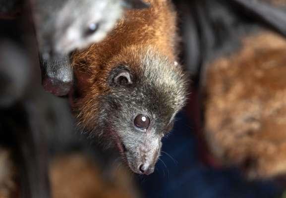 Китайські вчені знайшли у кажанів понад два десятки коронавірусів