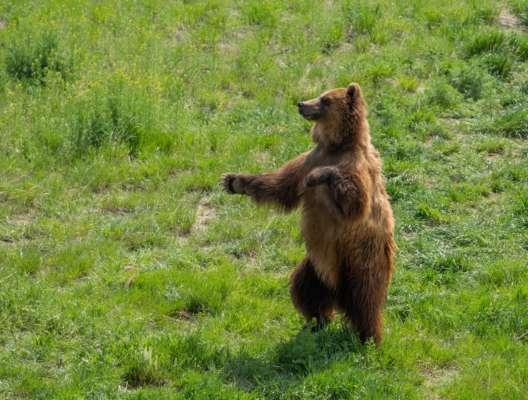 ведмідь пробрався у двір, щоб пограти з собакою