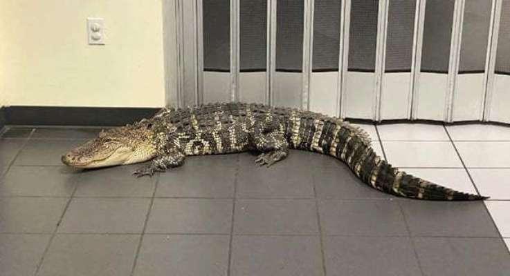 житель Флориди зіткнувся у відділенні пошти з крокодилом
