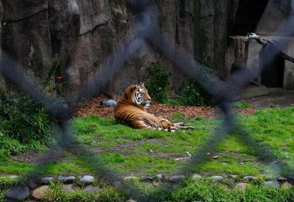 В крымском зоопарке тигр откусил палец ребенку