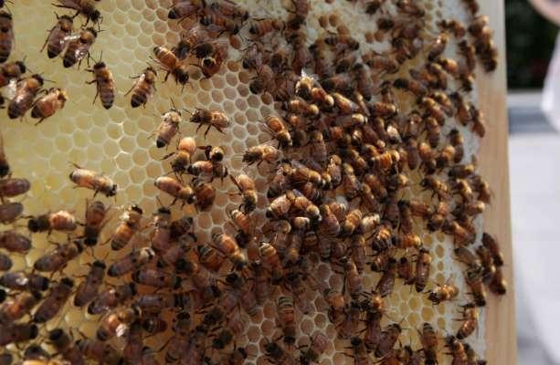 супруги обнаружили в стенах 450 тысяч пчел