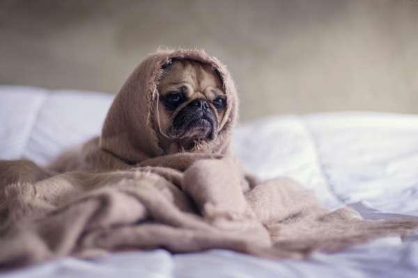 Ученые объяснили, почему маленькие породы собак более агрессивны, чем крупные