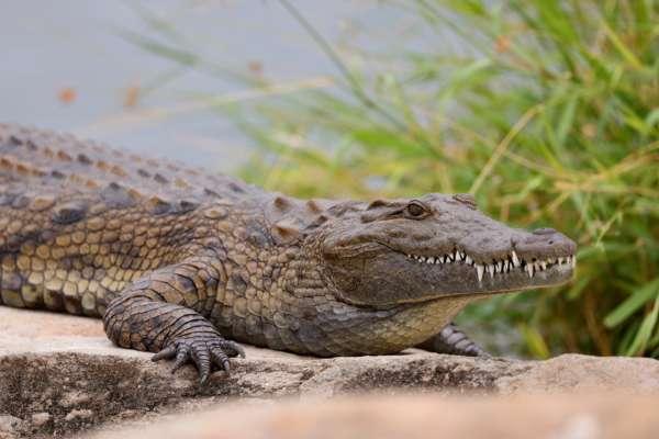 Іграшковий крокодил тримав в страху цілий житловий комплекс