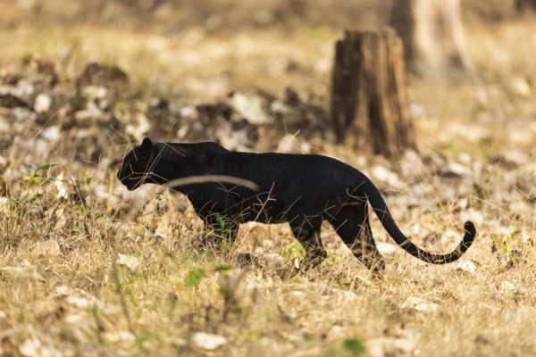 В Полтавской области пантера напала на мужчину