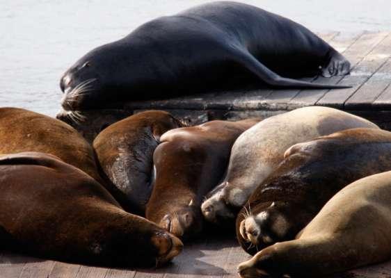 На побережье Чили нашествие морских львов: сотни животных заполонили местные пляжи. Видео