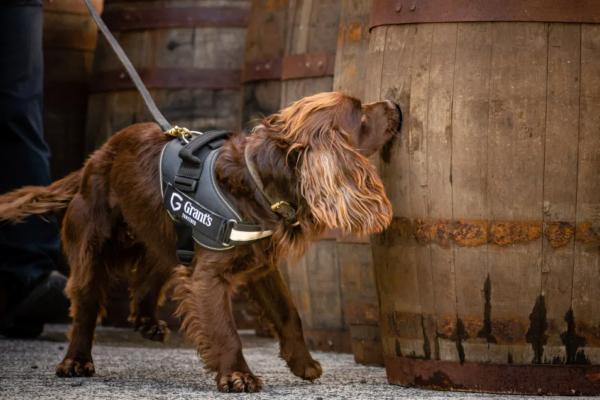 Пес влаштувався на завод з виробництва віскі