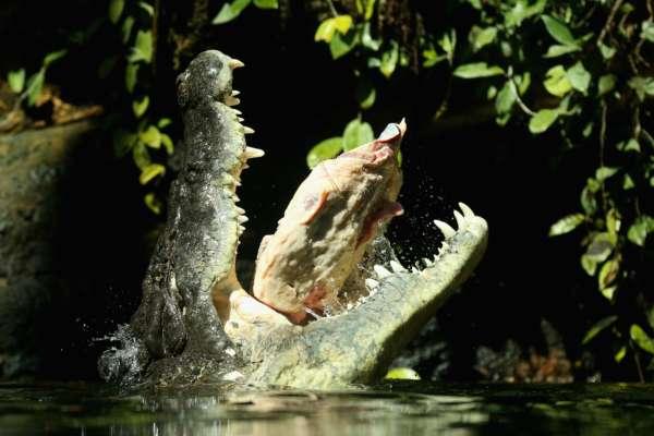 У США крокодил напав на жінку на очах у дітей