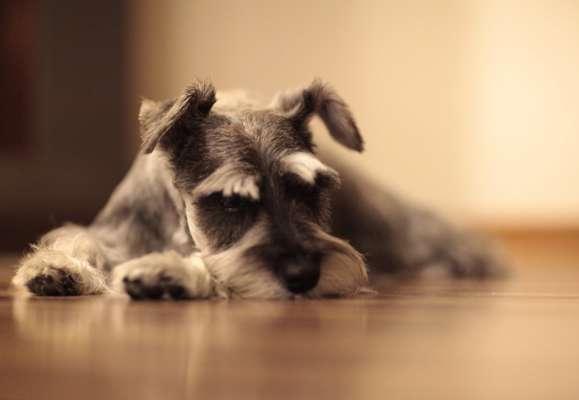 Словно овца: сеть рассмешило видео с забавной стрижкой у собаки