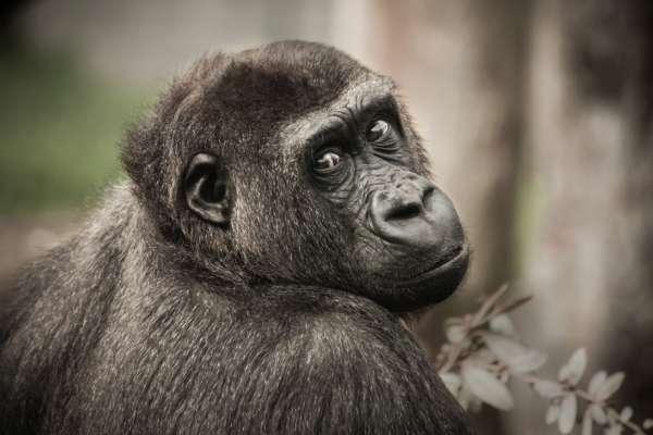 Зоопарк заборонив жінці відвідувати шимпанзе: у чому причина