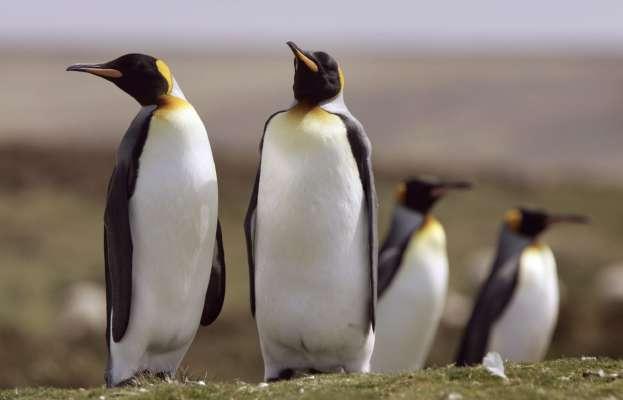 Зоологи змогли розшифрувати мову південноафриканських пінгвінів