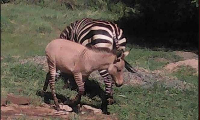 Красивый зебро-ослик: в Кении из-за спаривания диких животных родилась необычная дети
