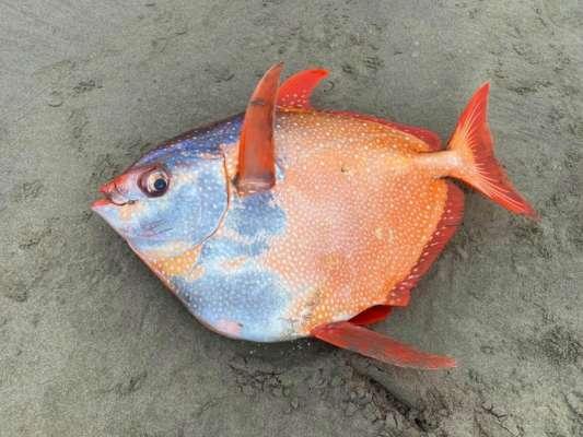 В США на побережье вымыло редкую 45-килограммовую теплокровную рыбу. Фото