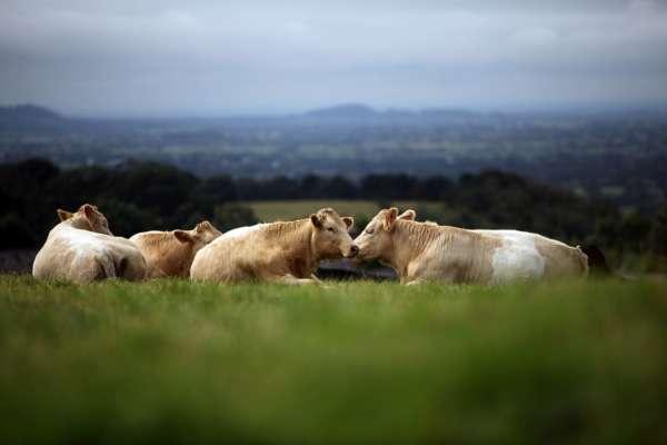 Фермер винайшов спосіб майнити криптовалюту на коров'ячому гної